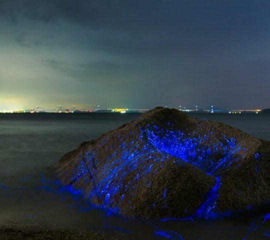 mavi deniz ateş böcekleri, Japonya